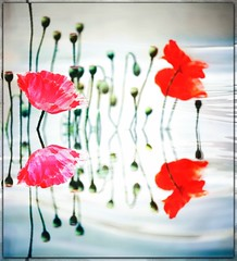 Reflections (PaulO Classic. ©) Tags: poppies poppy canon eos450d capetown photoshop picmonkey