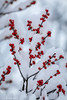 A White Christmas (Pulver41) Tags: greenville newyork ny upstateny winter red snow berries tree bush color landscape nature canon70d canon70200f4l intimatelandscape