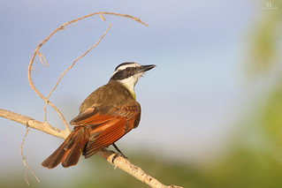 Great kiskadee - Tyran quiquivi - Pitangus sulphuratus