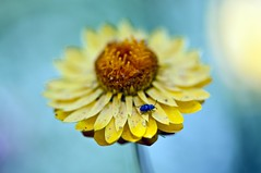 Beautiful things... (voeuxphotography) Tags: nature macro petals petal blue yellow insects insect bug fauna floral flowers flower