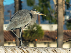 Struttin' His Stuff (tquist24) Tags: california missioncreek nikon nikond5300 outdoor santabarbara animal bird bokeh geotagged greatblueheron tree trees unitedstates