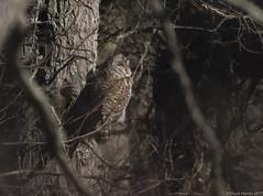 Barred Owl (Chuck Hantis) Tags: