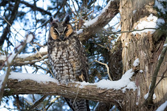 Long eared owl, Rondeau Provincial Park, Dec 12, 2017. (ricmcarthur) Tags: morpeth ontario canada ca asiootus rondeau owl longearedowl ricmcarthur rickmcarthur rondeauric