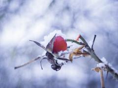 Baby, it's cold outside (ursulamller900) Tags: pentacon2829 snow schnee hagebutte rose hip bokeh mygarden