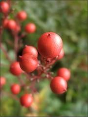(Tölgyesi Kata) Tags: nandinadomestica japánszentfa égibambusz mennyeibambusz heavenlybamboo sacredbamboo füvészkert botanikuskert botanicalgarden withcanonpowershota620 budapest fruit berry red autumn ősz