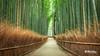 arashiyama bamboo grove // 嵐山竹林 (B. Weihe Photography) Tags: benjamin weihe b photography canon eos 700d japan reise 2017 arashiyama bamboo 嵐山竹 bambus hain kyoto 嵐山 storm mountain grove forest wald