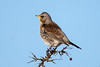 """""""Last of the Berries"""" (Simon Stobart) Tags: fieldfare turdus pilaris perched branch tree berry northeast england ngc"""