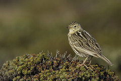 If spurs could kill-Falkland Pipit (Chantal Jacques Photography) Tags: falklandpipit wildandfree bokeh depthoffield lark skylark