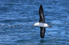 Black-browed Albatross (Thalassarche melanophris) (Heleioporus) Tags: sydneypelagic blackbrowed albatross thalassarche melanophris