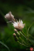 Bad hair day (Kasia Sokulska (KasiaBasic)) Tags: canada alberta elk island np nature macro flora