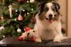 51/52 Merry Christmas! (Jasper's Human) Tags: australianshepherd aussie 52weeksfordogs lambchop toy christmaspresent