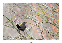 Merle noir : juvénile (gilbert.calatayud) Tags: commonblackbird merlenoir passériformes turdidés turdusmerula bird oiseau laddo domaine des oiseaux mazères ariège midipyrénées