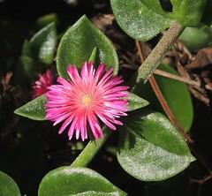 Herzblättrige Mittagsblume am Camino las Toscas, La Palma , NGID1794453737