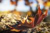 escenas de otoño II (Leticia Cabo) Tags: autumn seronda outueno outuenu leaf stone sierra de francia peña salamanca alberca miranda del castañar mirador la cabra arce plagano