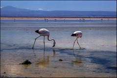 Flamencos en el Salar. (antoniocamero21) Tags: atacama salar desierto chile color foto sony paisaje animales flamencos aves