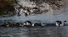 "Gulls & Ducks! (annjbee ""Birdie Lover"") Tags: gulls ducks nature wildlife lakes winter birdsinflight blackheadedgulls ngc soe"