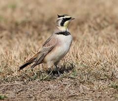 Horned Lark (Larry Gridley) Tags: lark horned