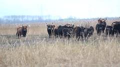 heckrunderen @ oostvaardersplassen (ilsakos2012) Tags: oostvaardersplassen lelystadgeeftlucht lelystad heckrunderen wildlife