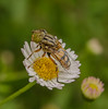 Native Drone Fly (Eristalinus punctulatus) (m&em2009) Tags: fly native drone insect bug flower flora daisy white fantasticnature
