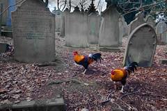 1920p 72dpi-0820 (R W Gibbens Photo) Tags: haworth westyorkshire worthvalley yorkshire england uk winter pennines churchyard graveyard cockerel grave gravestone