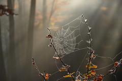 DSC_8679 filigranes Netzwerk in der Morgensonne - filigree network in the morning sun (baerli08ww) Tags: deutschland germany rheinlandpfalz rhinelandpalatinate westerwald westerforest nebel mist morgensonne morningsun spinnennetz spiderweb