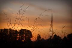 *** (pszcz9) Tags: przyroda nature natura zbliżenie closeup trawa grass bokeh rosa dew dewdrop wschódsłońca sunrise świt dawn beautifulearth jesień autumn fall sony a77