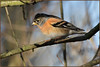 Brambling (image 2 of 3) (Full Moon Images) Tags: raspy sandy lodge thelodge wildlife nature reserve bedfordshire bird brambling