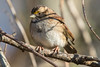 White-Throated Sparrow 12-28-2017-2 (Scott Alan McClurg) Tags: emberizidae passeri passeroidea zalbicollis zonotrichia animal back backyard bird delaware life nature naturephotography neighborhood perch perching portrait songbird sparrow suburbs whitethroated whitethroatedsparrow wild wildlife winter
