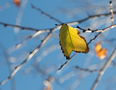 Brightly Fades the Fall (Flick'gAbility) Tags: leaf backlighting yellow bluesky branches highlights blur fall winter canoneos5dmarkiv canonef24105mmf4lisusm