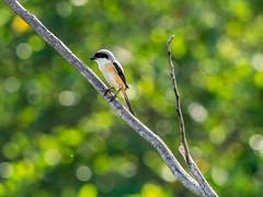 20171202-EM128592 (shutterblades) Tags: birds longtailedshrike olympusem1mkii olympusmzuiko300mmf4pro14tc seletaraerospacepark seletarwestlink