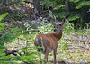 Isn't She Lovely (jimgspokane) Tags: deer wildlife crookedriver camping idahostate