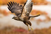 Buteo buteo, Γερακίνα, Common Buzzard (belas62) Tags: bif hawk buzzard ngc greece kalochori raptor γεράκι καλοχώρι γαλλικόσποταμόσ γαλα αρπακτικό macedonia μακεδονία bird