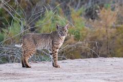 Lince Rojo, Bobcat (Lynx rufus) (Corriplaya) Tags: sonnybonosaltonseanationalwildliferefuge california linceamericano mamifero lincerojo bobcat lynxrufus