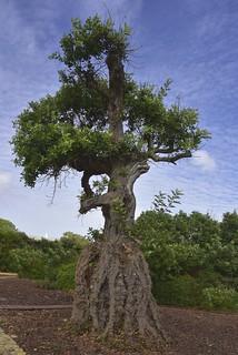 Olivenbaum (Olea europaea); Luz (Lagos), Portugal (154)
