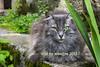 le chat vert (Henri Aubron) Tags: chat cat vert animal green mamifere félin saintantoninnobleval henri aubron sudouest occitanie