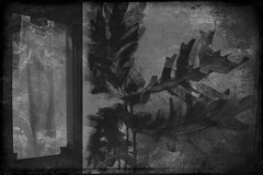 Valleybrook-12023 (Poetic Medium) Tags: acorns moldiv oak blackandwhite kitcamghostbird mextures ipod diptych