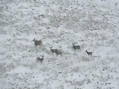 A Herd of Posers (amarilloladi) Tags: pacificnorthwest washington 7dwf herd snow winter deer fauna