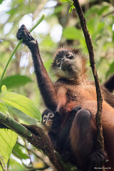 Geoffroy's spider monkey mom and its baby (Ateles geoffroyi) (Nicolas Roeschli) Tags: monkey signe costa rica atèle spidermonkey wild wildlife central america baby cute teaching learning edible
