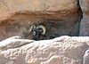 Made in the Shade (craigsanders429) Tags: arizona bighornsheep desert arizonasonoradesertmuseum tucsonarizona