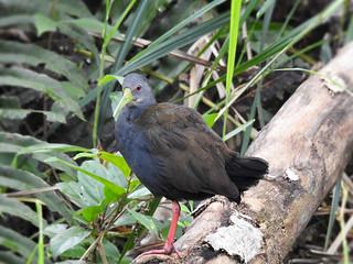 Saracura-sanã - Pardirallus nigricans