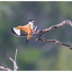 Black-capped kingfisher thumbnail