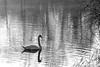 peaceful... (@petra) Tags: wintermorning lake swan nature monochrome bw uk nikond600