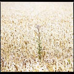 Thistle (Bion Grillart) Tags: hasselblad provia provia100f fujichrome sonnar 150mm mediumformat 6x6 square thistle field wheat crop 120 film analog 2000fcw nature slide e6 color minimal