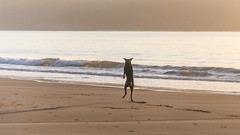 Jumping for joy or the ball or just overjoyed to be at the beach. (Merrillie) Tags: daybreak uminabeach sunrise nature dawn jumping morning newsouthwales sea earlymorning nsw pet centralcoast ocean seascape umina funny coastal dog sky waterscape water coast landscape australia
