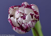 "In our livingroom, ""Tulipa Jericho"" (A.J. Boonstra) Tags: tulip tulp tulipajericho falconeyesdiffusionumbrella jinbeidiffusionjumboumbrella jinbei falconeyesskk2150d falconeyes ef100mmf28lmacroisusm canon70d canoneos canon eefde closeup"