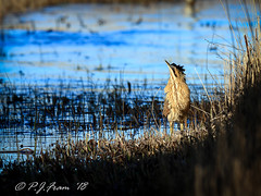 Punk Bittern (Rat_Salad (sorry if too busy to play for a while..) Tags: canon1dx canonef600mmf4isusml kenfigpool kenfignationalnaturereserve bittern botaurusstellaris