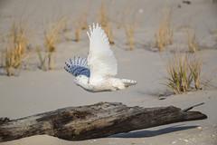 _S4I8527 (Samuel Maglione) Tags: buboscandiacusnj islandbeachstatepark snowyowl