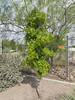 Tucson plantlife of oak trees and palo verde trees, with typical Tucson chainlink. (Tim Kiser) Tags: 11thstreet 11thanddrachman 2015 20151010 arizona drachmanstreet drachmanand11th img0834 north11thstreet october october2015 pimacounty pimacountyarizona securityfenceofarizona tucson tucsonarizona westdrachmanstreet chainlink chainlinkfence fence gravel landscaping oak oaktree ornamentaloak ornamentaloaktree ornamentaltree paloverde paloverdetree smalloaktree smalltree southarizona southeastarizona southeasternarizona southernarizona youngoaktree youngtree