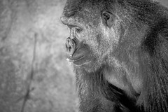 Portrait of a primate (raylincoln1) Tags: sony a65 gorilla primates audubon zoo new orleans