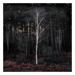 Silver Birch (ashtennisguru) Tags: fuji fujifilm silver birch berkshire outdoor frosty moody atmosphere uk fearns woodland misty landscape contrast